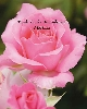 Image of Pink Rose 906