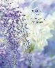 Image of Lilac flowers 919